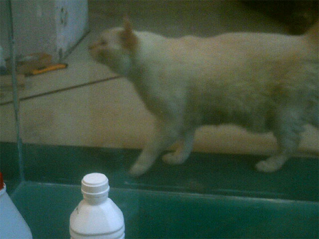 Chat derrière l'aquarium